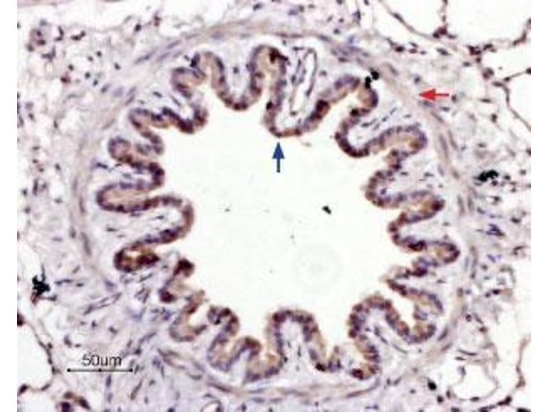Immunohistochemistry (IHC) image for anti-Coagulation Factor II (Thrombin) Receptor-Like 3 (F2RL3) (1st Extracellular Loop), (AA 136-150), (Cys149Ser-Mutant) antibody (ABIN1742017)