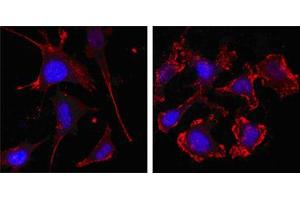 Immunocytochemistry (ICC) image for anti-beta Actin antibody (Actin, beta) (N-Term) (ABIN968977)