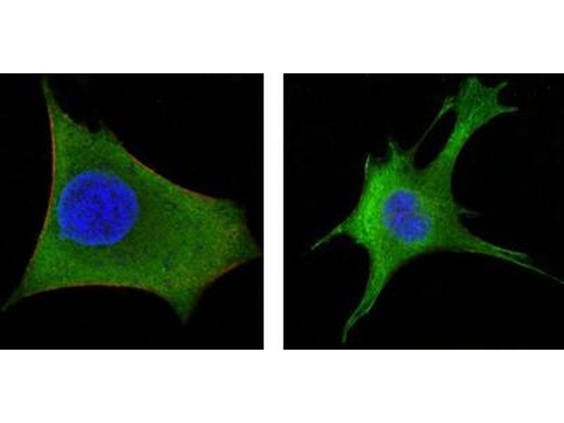 Immunofluorescence (IF) image for anti-Wingless-Type MMTV Integration Site Family, Member 1 (WNT1) antibody (ABIN1109511)