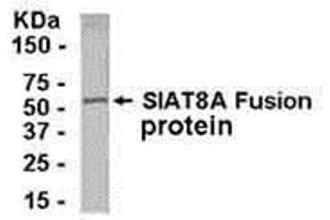 Image no. 1 for anti-ST8 alpha-N-Acetyl-Neuraminide alpha-2,8-Sialyltransferase 1 (ST8SIA1) (AA 4-18) antibody (ABIN2468180)
