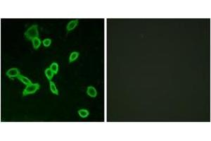 Image no. 2 for anti-Leucine-Rich Repeat-Containing G Protein-Coupled Receptor 6 (LGR6) (AA 471-520) antibody (ABIN1535764)