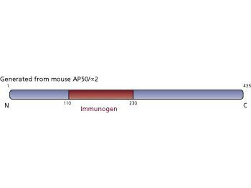 Image no. 2 for anti-Adaptor-Related Protein Complex 2, mu 1 Subunit (AP2M1) (AA 110-230) antibody (ABIN968488)