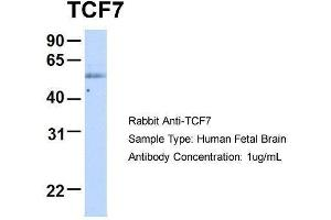 anti-Transcription Factor 7 (T-Cell Specific, HMG-Box) (TCF7) (Middle Region) antibody (2)