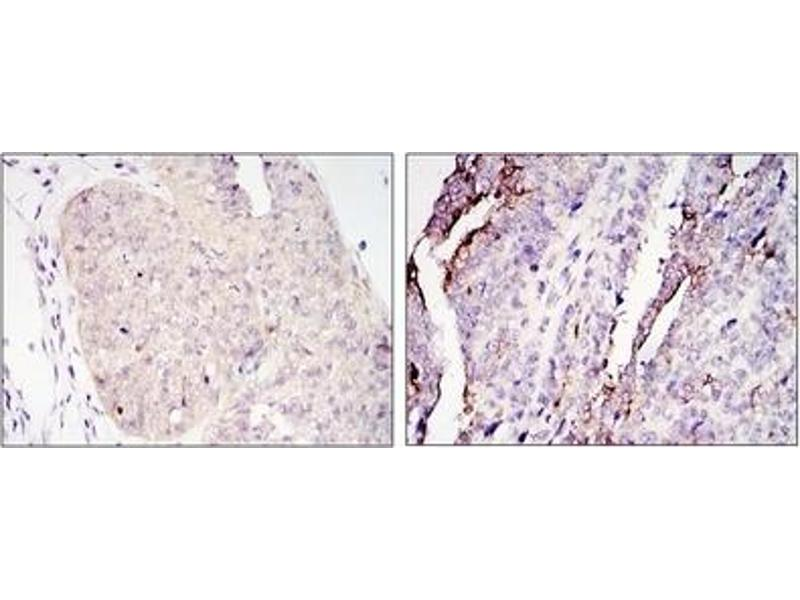 Immunohistochemistry (IHC) image for anti-CRTC2 antibody (CREB Regulated Transcription Coactivator 2) (ABIN1106840)