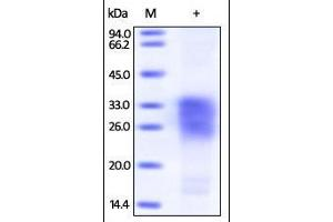 SDS-PAGE (SDS) image for Sclerostin (SOST) (AA 24-213) (Active) protein (Biotin,His tag) (ABIN2181783)