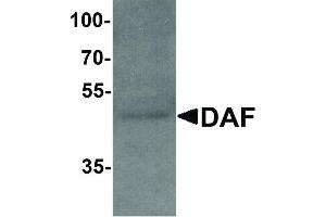 Image no. 2 for anti-Complement Decay-Accelerating Factor (CD55) (C-Term) antibody (ABIN6655329)
