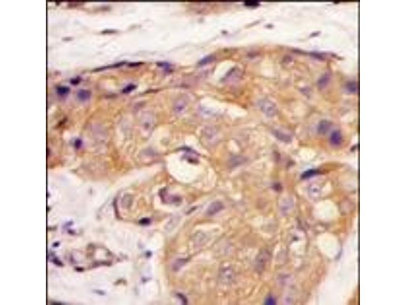 image for anti-Sclerostin (SOST) (N-Term) antibody (ABIN358751)