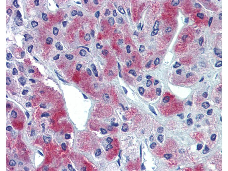 Immunohistochemistry (IHC) image for anti-GLE1 RNA Export Mediator Homolog (Yeast) (GLE1) (Internal Region) antibody (ABIN462552)