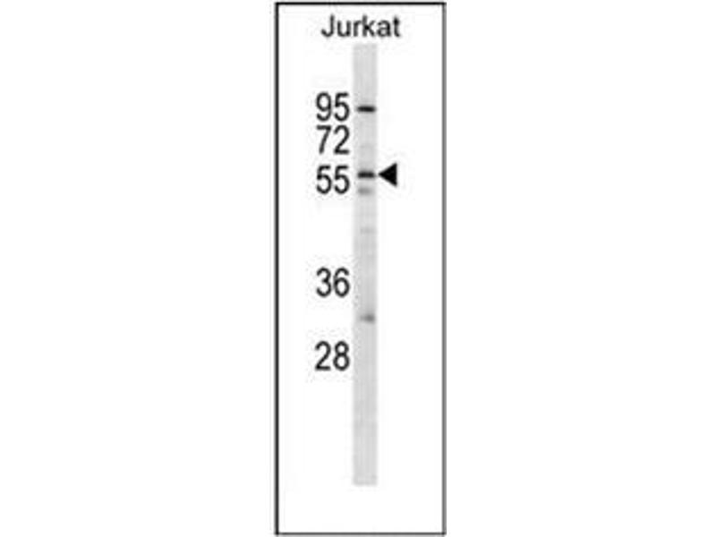 Western Blotting (WB) image for anti-Hypocretin (Orexin) Receptor 2 (HCRTR2) (AA 274-304), (Middle Region) antibody (ABIN953937)