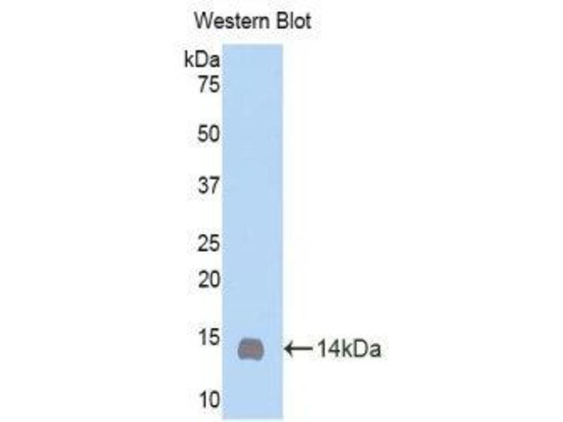 Western Blotting (WB) image for anti-Oncostatin M (OSM) (AA 25-115) antibody (ABIN1860108)