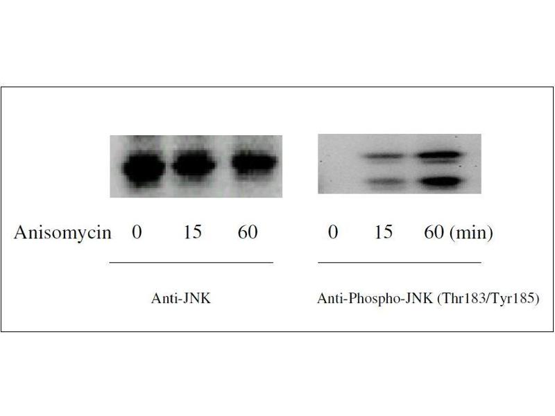 Western Blotting (WB) image for JNK ELISA 试剂盒 (Mitogen-Activated Protein Kinase 8) (ABIN1981833)