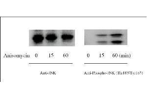 Western Blotting (WB) image for JNK ELISA Kit (Mitogen-Activated Protein Kinase 8) (ABIN1981833)
