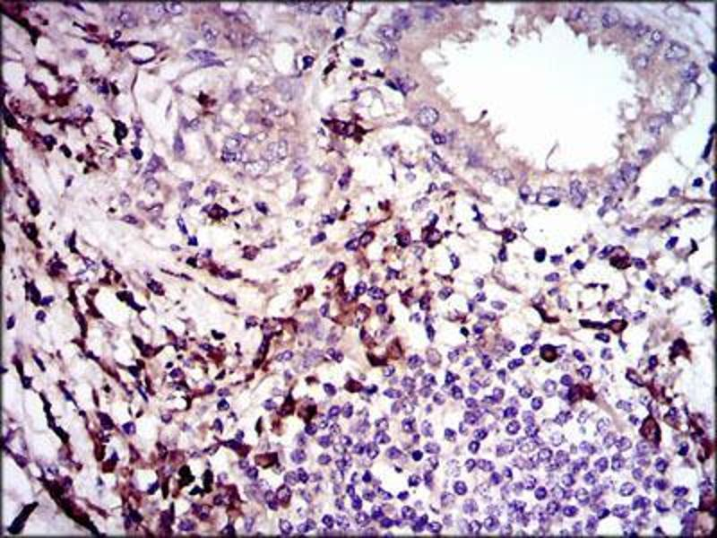 Immunohistochemistry (IHC) image for anti-TGFB1 antibody (Transforming Growth Factor, beta 1) (AA 62-195) (ABIN969570)