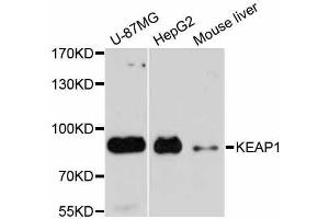 Image no. 4 for anti-Kelch-Like ECH-Associated Protein 1 (KEAP1) antibody (ABIN3022609)