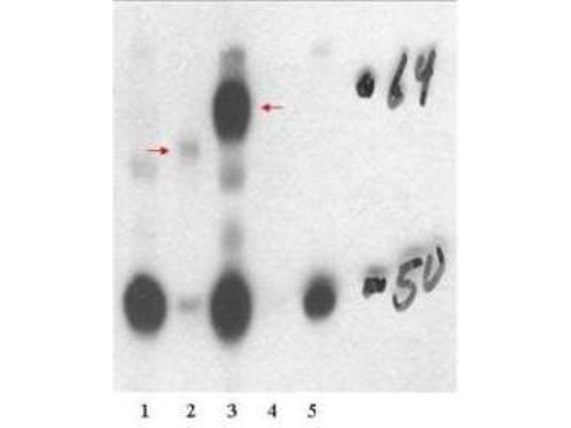 Image no. 2 for anti-Thyroid Hormone Receptor, beta (THRB) (Isoform 1), (N-Term) antibody (ABIN349600)