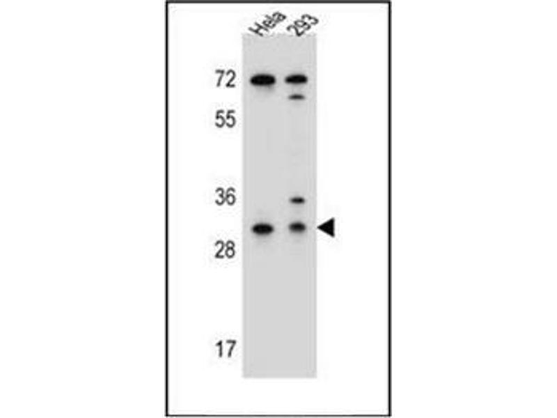 Western Blotting (WB) image for anti-Ephrin B2 antibody (EFNB2) (AA 164-194) (ABIN952093)