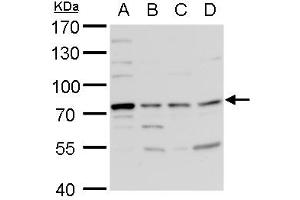 Image no. 3 for anti-Tyrosyl-DNA Phosphodiesterase 1 (TDP1) (Center) antibody (ABIN2857076)