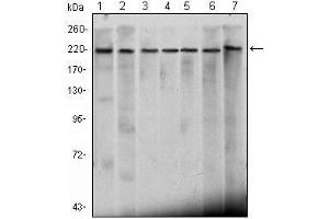 Western Blotting (WB) image for anti-CHD3 antibody (Chromodomain Helicase DNA Binding Protein 3) (ABIN1106677)
