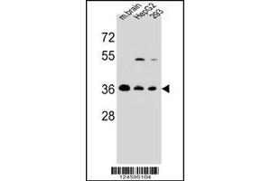Image no. 2 for anti-F-Box Protein 2 (FBXO2) (AA 244-271), (C-Term) antibody (ABIN5534267)