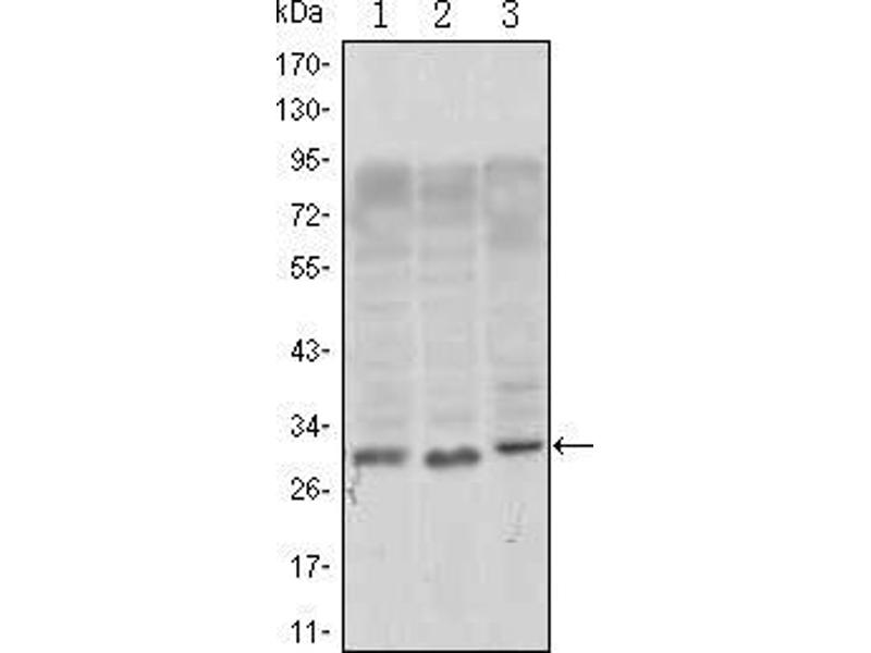 Image no. 3 for anti-CD69 (CD69) antibody (ABIN1724738)