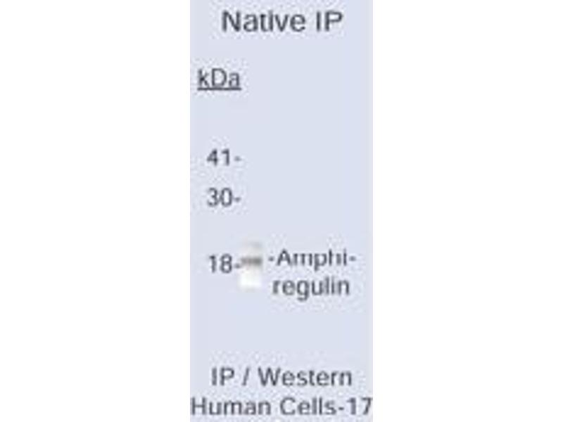 Western Blotting (WB) image for anti-Amphiregulin antibody (AREG) (ABIN153430)