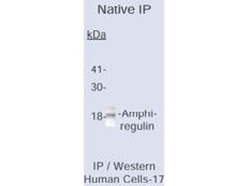 Western Blotting (WB) image for anti-Amphiregulin antibody (AREG) (AA 8-26) (ABIN153430)