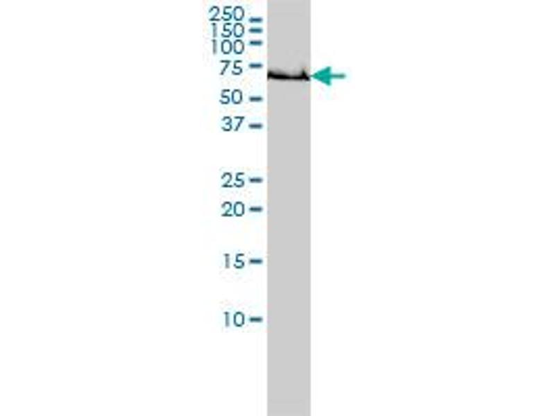 Image no. 2 for anti-Glutamate-Cysteine Ligase, Catalytic Subunit (GCLC) (AA 528-637) antibody (ABIN561050)