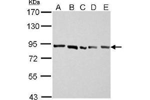 Image no. 2 for anti-Amyloid beta (A4) Precursor-Like Protein 2 (APLP2) (N-Term) antibody (ABIN2855243)