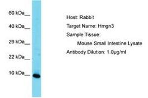 Image no. 1 for anti-High Mobility Group Nucleosomal Binding Domain 3 (HMGN3) (AA 41-90) antibody (ABIN6750471)