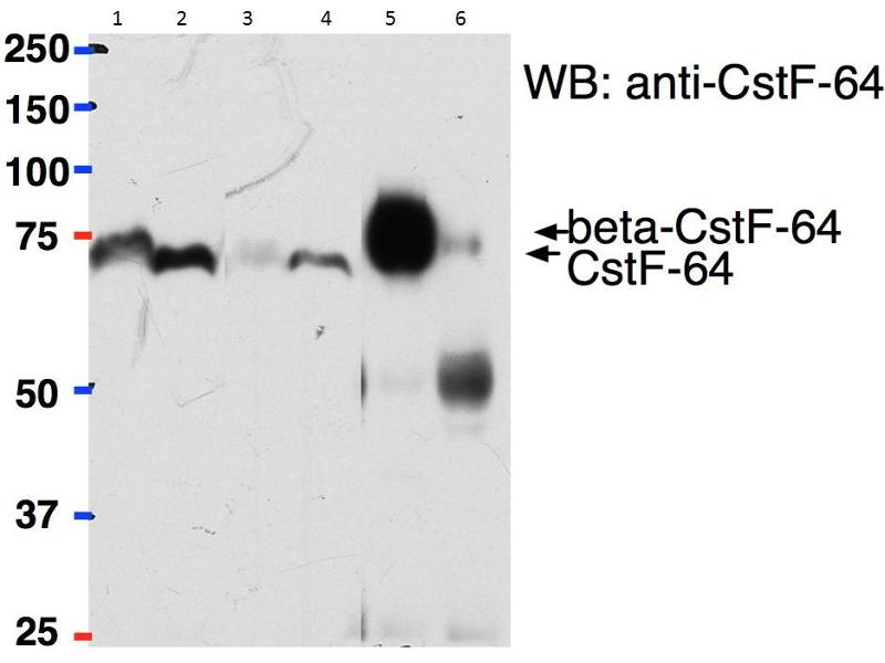 Image no. 1 for anti-BetaCstF-64 Variant 1/3 (Internal Region) antibody (ABIN2561401)