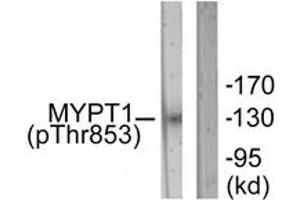 Image no. 1 for anti-Myosin Phosphatase, Target Subunit 1 (PPP1R12A) (AA 621-670), (pThr853) antibody (ABIN1531349)