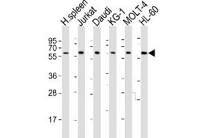 Western Blotting (WB) image for anti-Interleukin 2 Receptor, gamma (IL2RG) (AA 76-101), (N-Term) antibody (ABIN653403)