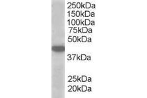 Image no. 2 for anti-Solute Carrier Family 16, Member 7 (Monocarboxylic Acid Transporter 2) (SLC16A7) (C-Term) antibody (ABIN184612)