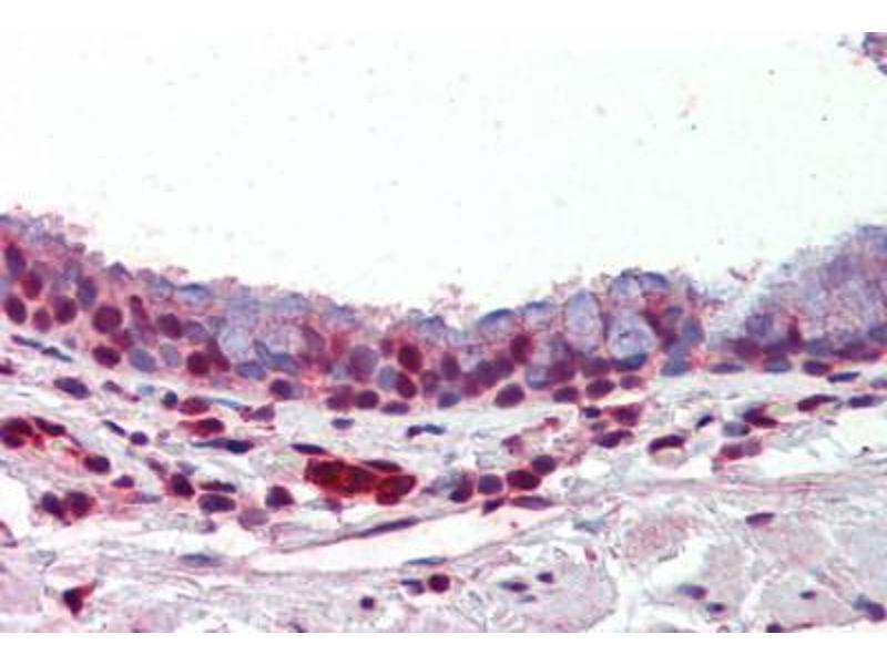 Image no. 2 for anti-Protein Arginine Methyltransferase 1 (PRMT1) (AA 317-346) antibody (ABIN462306)
