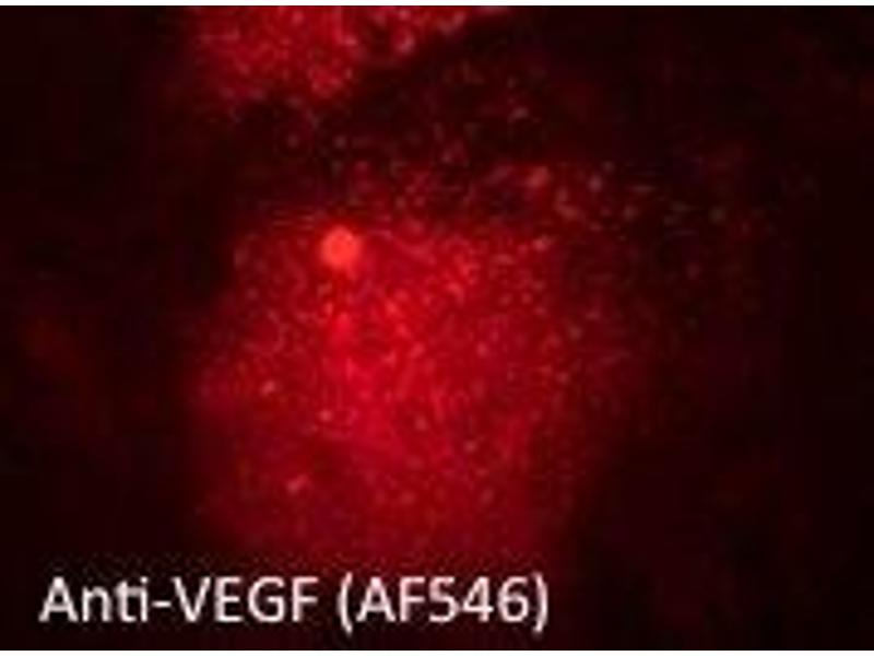 Immunofluorescence (IF) image for anti-Vascular Endothelial Growth Factor A (VEGFA) (Isoform 6) antibody (ABIN6254198)