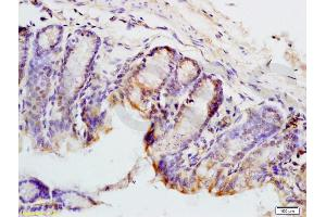 Image no. 2 for anti-Paired Box 9 (PAX9) (AA 300-341) antibody (ABIN737691)