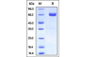 Image no. 2 for Programmed Cell Death 1 Ligand 2 (PDCD1LG2) (AA 20-219) (Active) protein (Fc Tag,AVI tag,Biotin) (ABIN2870562)