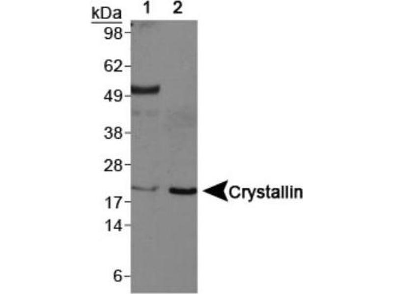 Western Blotting (WB) image for anti-CRYAB antibody (Crystallin, alpha B) (C-Term) (ABIN250947)