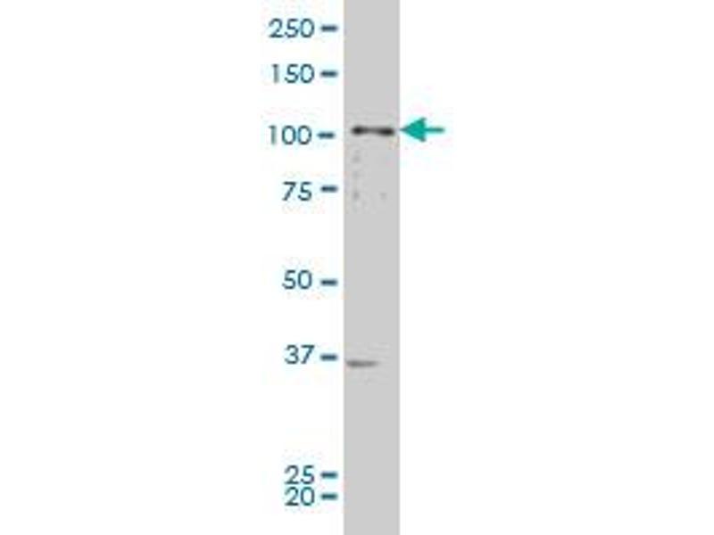 Western Blotting (WB) image for anti-EPH Receptor B2 (EPHB2) (AA 226-325), (partial) antibody (ABIN515343)