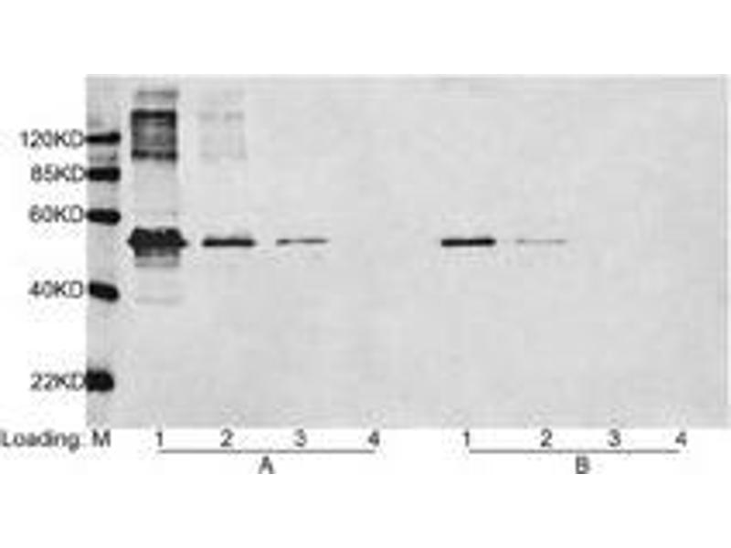 image for anti-DYKDDDDK Tag antibody (ABIN387700)