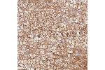 Immunohistochemistry (Paraffin-embedded Sections) (IHC (p)) image for anti-Potassium Voltage-Gated Channel, KQT-Like Subfamily, Member 1 (KCNQ1) antibody (ABIN4329459)