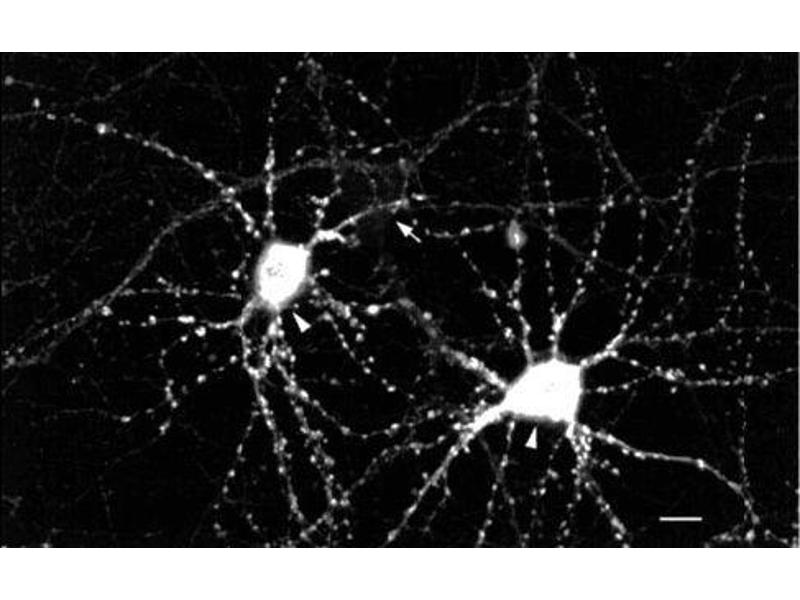 Immunofluorescence (fixed cells) (IF/ICC) image for anti-CAMK2G antibody (Calcium/calmodulin-Dependent Protein Kinase II gamma)  (Atto 390) (ABIN2484909)