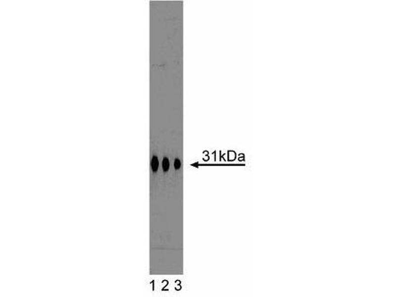 Western Blotting (WB) image for anti-Syntaxin 6 (STX6) (AA 6-136) antibody (ABIN968079)