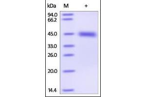 Image no. 1 for Kallikrein 1 (KLK1) (AA 19-262) protein (His tag) (ABIN2181428)