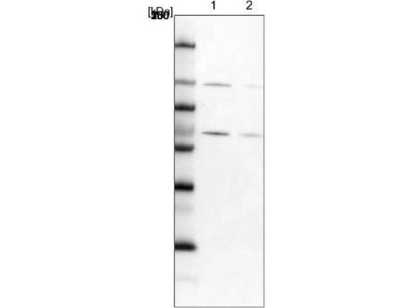 Western Blotting (WB) image for anti-RBM19 抗体 (RNA Binding Motif Protein 19) (ABIN4349590)