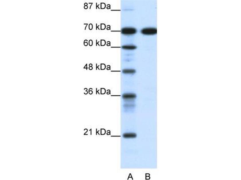 Western Blotting (WB) image for anti-RRN3 RNA Polymerase I Transcription Factor Homolog (S. Cerevisiae) (RRN3) (C-Term) antibody (ABIN2775807)