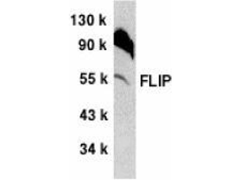 Western Blotting (WB) image for anti-CFLAR antibody (CASP8 and FADD-Like Apoptosis Regulator) (C-Term) (ABIN499844)