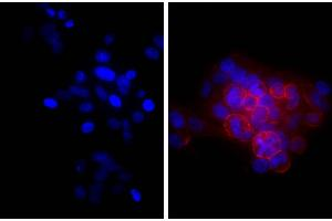 Image no. 1 for Goat anti-Mouse Ig (Heavy & Light Chain) antibody (ABIN376851)
