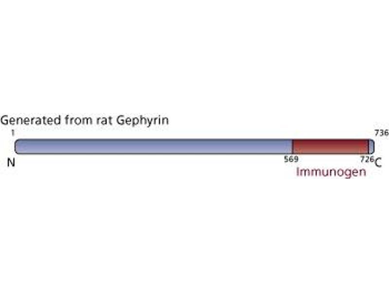 image for anti-Gephyrin antibody (GPHN) (AA 569-726) (ABIN968051)