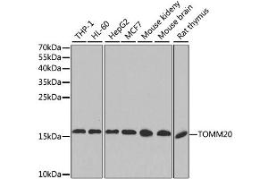 Image no. 2 for anti-Translocase of Outer Mitochondrial Membrane 20 Homolog (Yeast) (TOMM20) antibody (ABIN2560486)